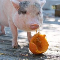 Meet and Greet with Animal Advocates: Pet Pumpkin the Pig